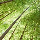 ILLUSTRATION_Monde des bambous