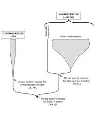 Phyllogénie simplifiée d'Amborella trichopoda