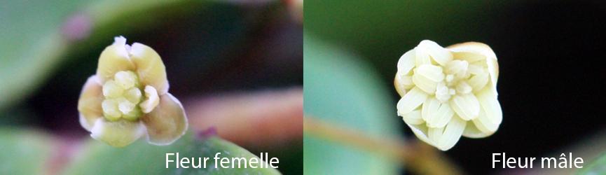 Fleurs mâles et femelles d'Aborella trichopoda