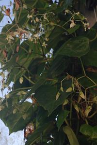 Begonia glabra var. glabra