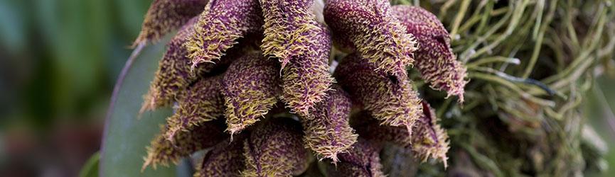 Bandeau_Bulbophyllum_phalaenopsis.jpg