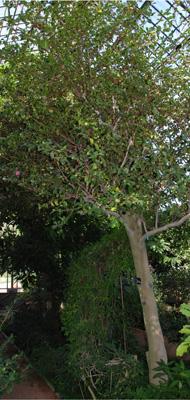 Camellia japonica var pomponia rosea