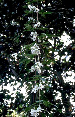 Clematis urophylla 2