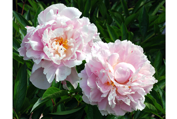 Paeonia lactiflora cv. 'Mademoiselle Rousseau'