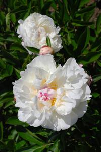 Paeonia lactiflora cv. 'bossuet'