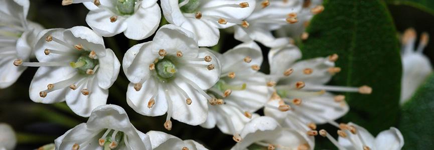 BANDEAU - Rhododendron micranthum