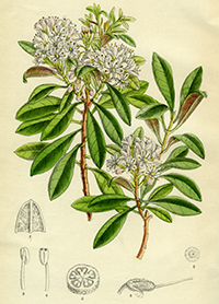 ILLUTRATION - Rhododendron micranthum Curtis's Botanical Magazine t.