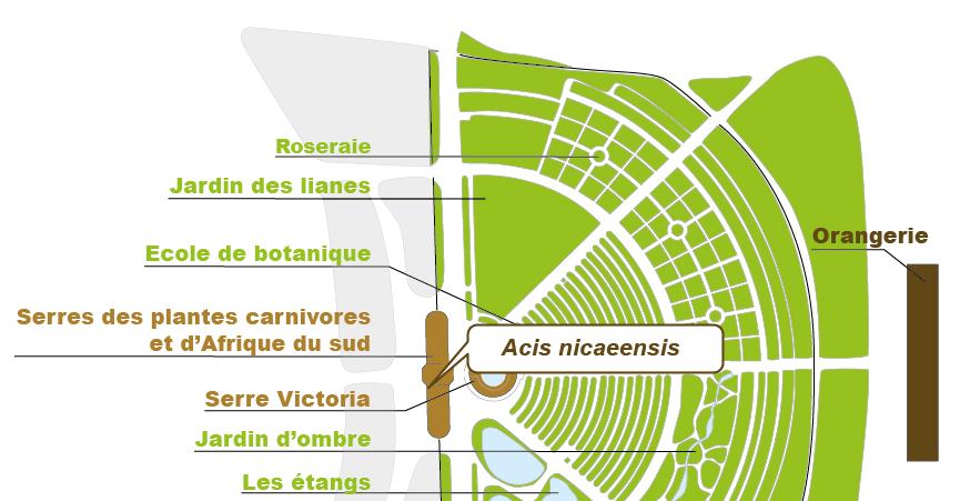 Plan_web - Acis nicaensis