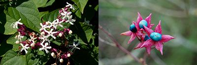 fleurs et fruits_clerodendrum trichotomum