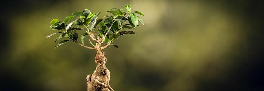 BANDEAU - Ficus microcarpa ©Adobestock - wstockstudio