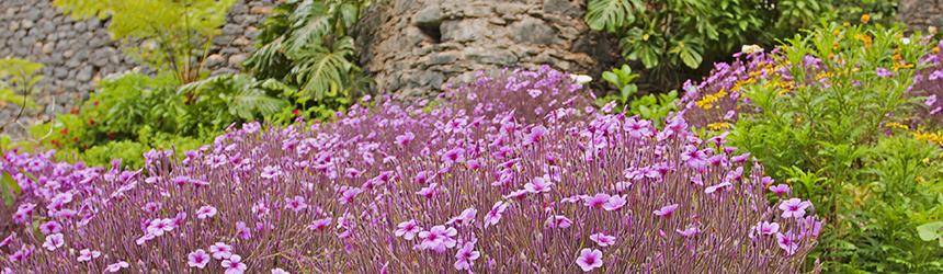 Bandeau - Geranium maderense - Fotolia © Nadmak