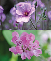 Illustration - geranium vs pelargonium