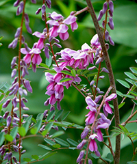 Illustration - Indigofera pendula