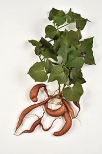 ILLUSTRATION - Ipomoea batatas © Adobe stack -  PIXATERRA.jpg