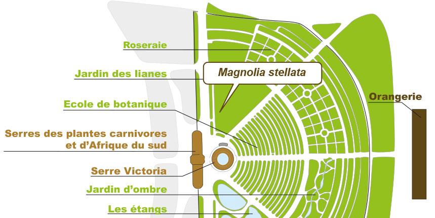 Magnolia stellata jardin botanique de lyon for Jardin couvert lyon