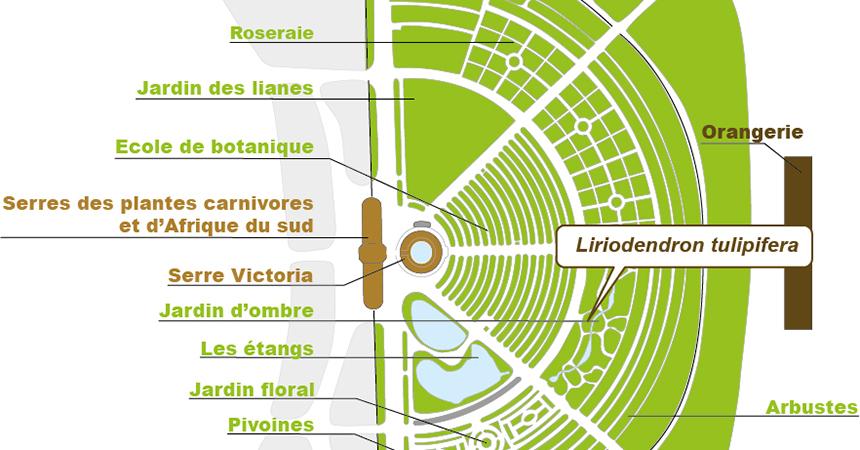Plan Liriodendron tulipifera