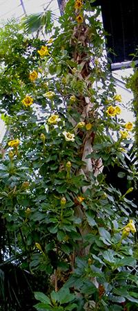 ILLSUTRATION - Solandra grandiflora.jpg