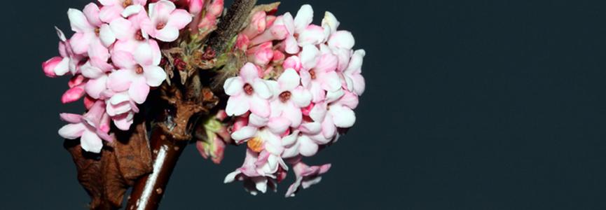 BANDEAU - Viburnum bodnantense