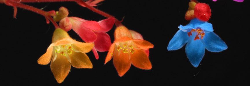 BANDEAU_Irisa spectabilis.jpg
