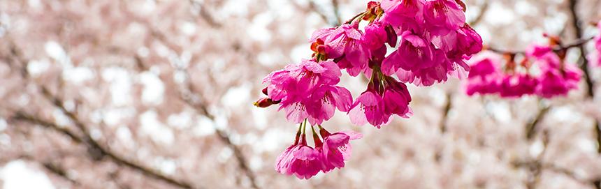 BANDEAU - Prunus campanulata