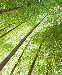 ILLUSTRATION_bambous©FlavienDurand.jpg