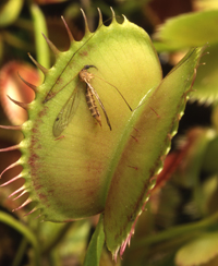 ILLUSTRATION - LES PLANTES CARNIVORES